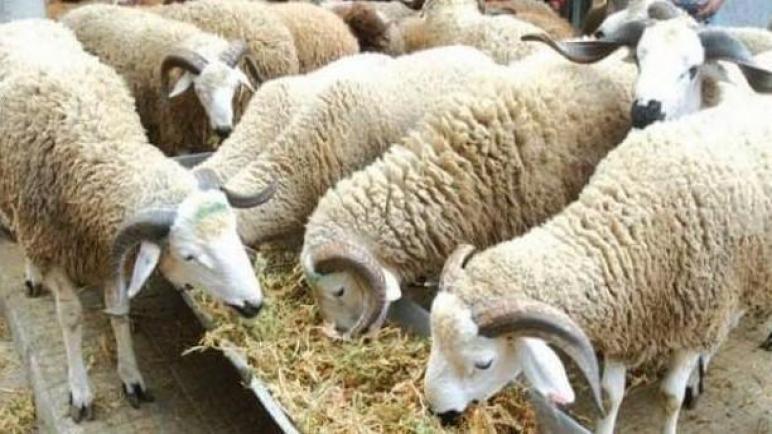 """""""الأونسا"""" تكشف حصيلة التلقيح و الحالة الصحية لقطيع الأضاحي بالمغرب"""