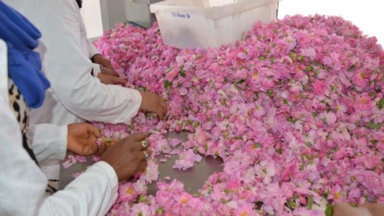 الورد العطري رافعة قوية للشغل وللدينامية الإقتصادية المحلية