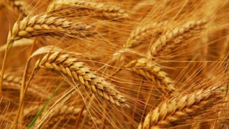 وزارة الفلاحة تتوقع انخفاضا كبيرا في محصول الحبوب